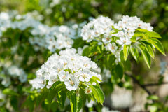 Flowering pear tree. White flowers and green leaves on the branches. Fruit garden in spring Royalty Free Stock Images