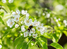 Flowering pear tree. White flowers and green leaves on the branches. Fruit garden in spring Stock Photography