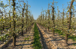 Flowering pear trees. Orchard filled with flowering pear trees royalty free stock image