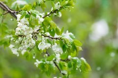 Flowering pears filled with snow. Spring stock photography