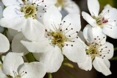 Flowering Pears flowers Royalty Free Stock Image