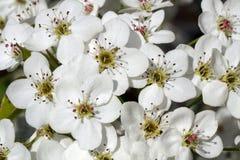 Flowering Pears flowers Stock Photos