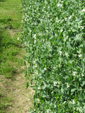 Flowering peas plant in a field . Tuscany, Italy Stock Photography