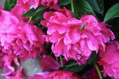 Flowering peonies Stock Images