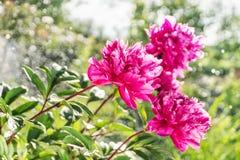 Flowering peonies in the garden Royalty Free Stock Photos