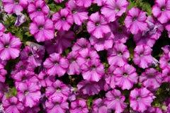 Flowering Petunia Dwarf Royalty Free Stock Photos