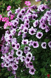 Flowering petunia flowers with purple. Stock Photography