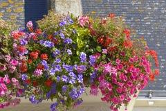 Flowering petunias and geraniums Stock Photo