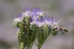 Flowering phacelia attracts bees. It hang near the apiaries to harvest honey stock photo