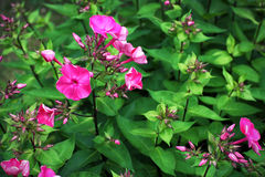 Flowering phlox on a background of green foliage Royalty Free Stock Images