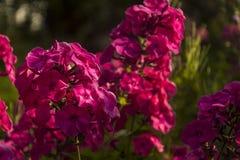 Flowering phlox flowers royalty free stock image