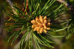 Flowering pine tree. The flowering pine tree in the spring. Shallow depth of field Stock Photos
