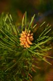 Flowering pine tree. The flowering pine tree in the spring. Shallow depth of field Stock Photo