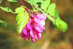 Flowering pink acacia Stock Images