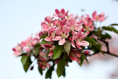 The flowering pink Apple-tree. On the background of blue sky stock images