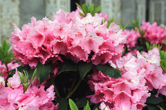 Flowering pink azaleas. Azalea pink with flowers in the form of bells Royalty Free Stock Photography