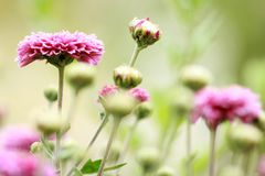 Flowering Pink Blooms of Chrysanthemum Royalty Free Stock Photography