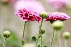 Flowering Pink Blooms of Chrysanthemum Stock Photos