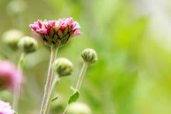 Flowering Pink Blooms of Chrysanthemum Royalty Free Stock Photos
