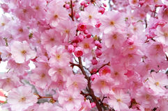 Flowering pink cherry blossoms. Royalty Free Stock Photo