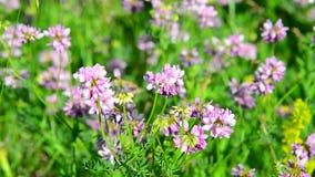 Flowering pink clover in meadow. Flowering pink clover in a meadow stock video