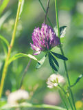Flowering pink clover Royalty Free Stock Photo