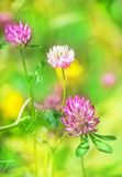 Flowering pink clover Royalty Free Stock Photos