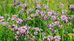 Flowering pink clover in meadow. Flowering pink clover in a meadow stock footage