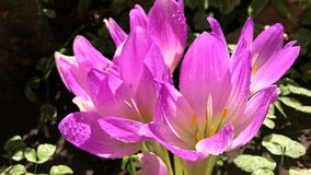 Flowering pink crocus on a bright sunny day stock footage