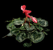 Flowering pink cyclamen on the black background Royalty Free Stock Image