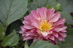 Flowering Pink Dahlia Stock Photos