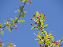 Flowering Pink Dogwood Tree Royalty Free Stock Images
