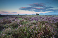 Flowering pink heather at sunrise Stock Photo