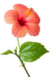 Flowering pink Hibiscus Royalty Free Stock Image