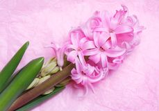 Flowering pink hyacinth on a light background Royalty Free Stock Photo