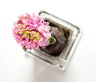 Flowering Pink hyacinthus Stock Photos