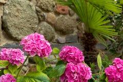 Flowering pink hydrangea Stock Photography