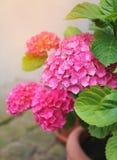 Flowering Pink hydrangea Stock Image