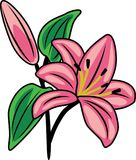 Flowering pink lily Royalty Free Stock Image