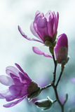 Flowering pink magnolia Stock Photography