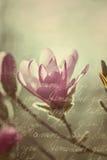 Flowering pink magnolia in vintage style Stock Image