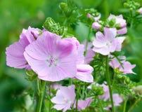 Flowering pink mallows. Blooming of pink malva moschata Royalty Free Stock Image