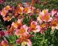 Peruvian Lilies Stock Photos
