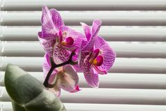 Flowering pink phalaenopsis orchid closeup on background of wind Stock Photo