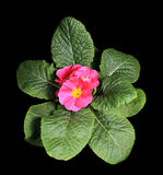 Flowering pink primula on the black background Royalty Free Stock Image
