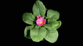 Flowering pink primula on the black background (Primula vulgaris. Bright pink) stock video