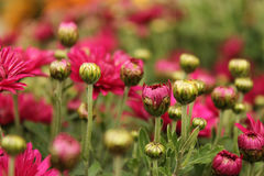 Flowering Pink and Rose Blooms of Chrysanthemum Stock Photo