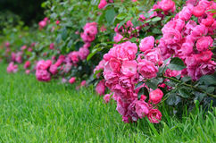 Flowering pink roses in the garden. Horticulture and  landscaping. Flowering pink roses in the garden Royalty Free Stock Photo