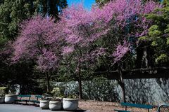 Flowering pink trees with benches. Flowering pink trees lining a walkway with green benches and a cement wall royalty free stock photos