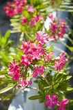 Flowering plant. Royalty Free Stock Photos